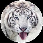 Weisses Tiger Tantra, Reiten des Tigers